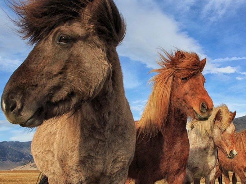 O especial cavalo islandês.