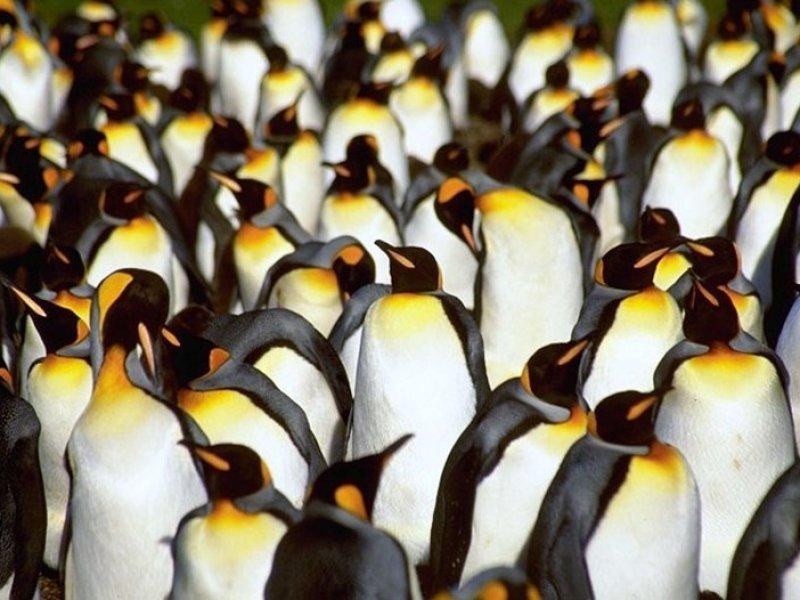 Ilhas Falklands(Malvinas) - Pinguins Rey