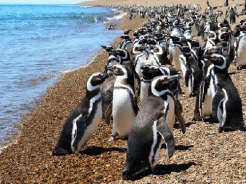 Pinguins Magalhãnicos - Punta Tombo