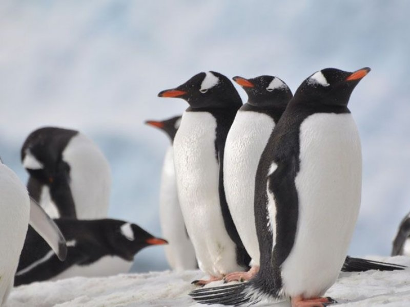 Pinguins Gentoo