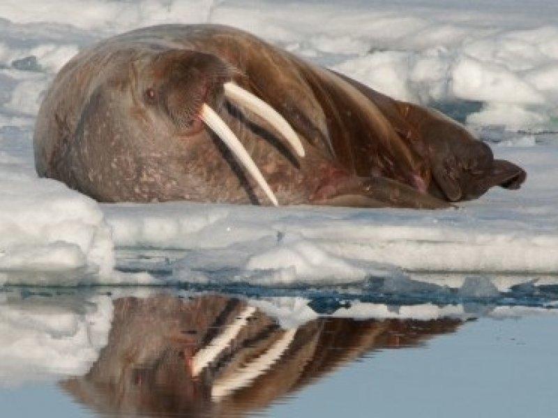 Cruzeiro Noruega - Svalbard - Morsa