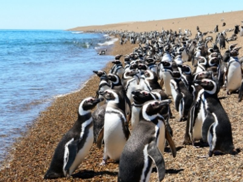 Pinguins Magalhãnicos - Punta Tombo