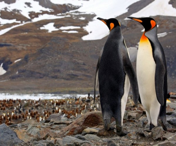 Pinguim Rey