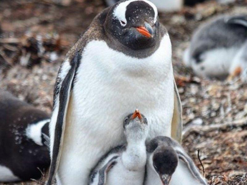 Ilhas Falklands(Malvinas) - Pinguins Gentoo Papua