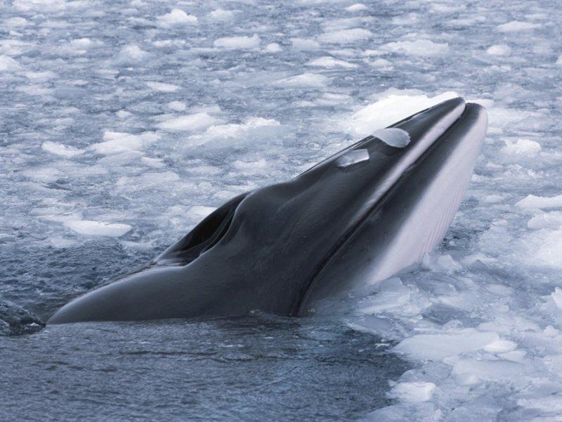 Cruzeiro Noruega - Svalbard - Baleia Jubarte