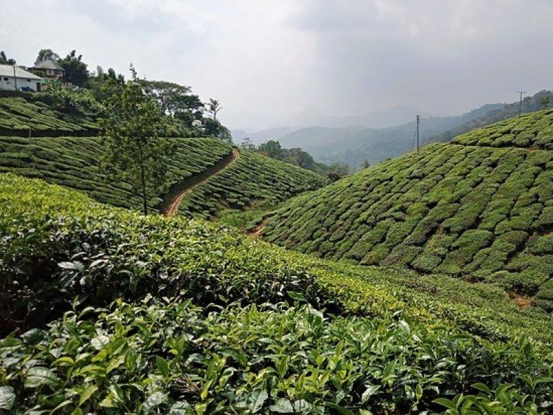 Munnar - Plantações de chá