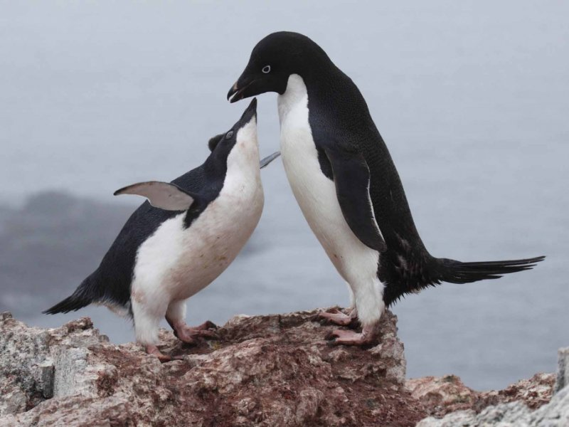 Antartica - Pinguins