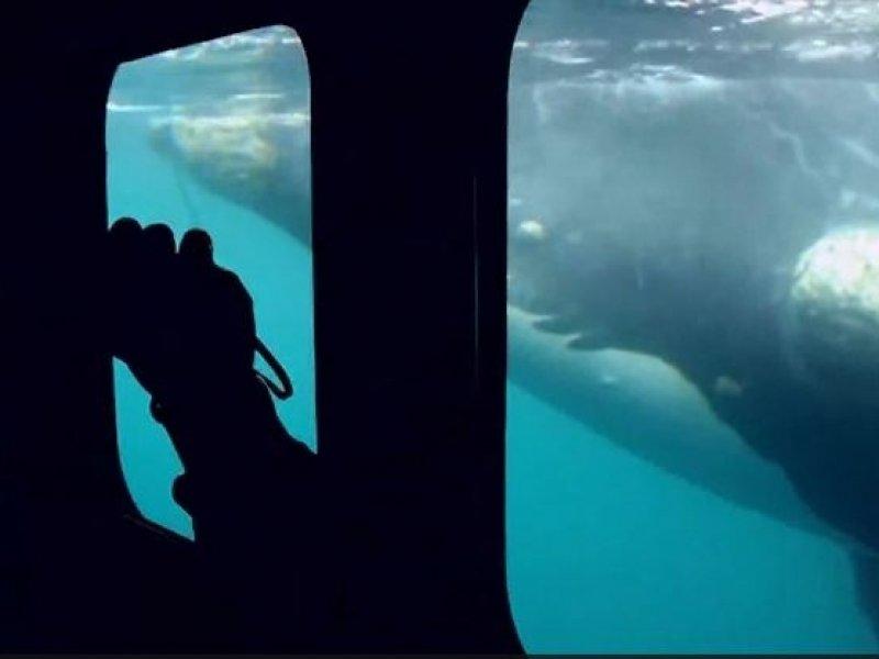 Avistagem de Baleias - Yellow Submarine (opcional)