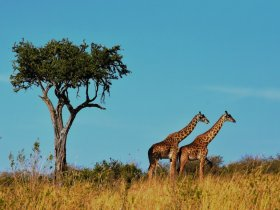 Safari no Quênia e Tanzânia